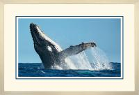 Humpback Breaching x 900 wide A.jpg