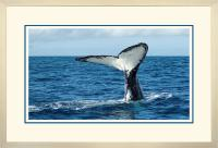 Humpback Tail 008  A x 900 Wide.jpg