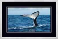 Humpback Tail 008  C x 900 Wide.jpg