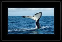 Humpback Tail 008  D x 900 Wide.jpg