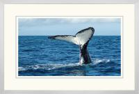 Humpback Tail 008  E x 900 Wide.jpg