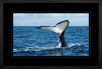 Humpback Tail 008  H x 900 Wide.jpg