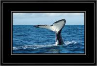 Humpback Tail 008  I x 900 Wide.jpg