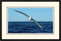 Yellow nose Albatross 003  B  x 900 Wide.jpg