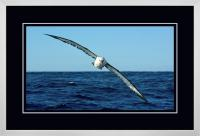 Yellow nose Albatross 003  C  x 900 Wide.jpg