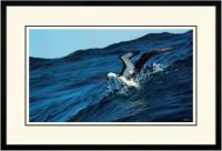 Yellow nose Albatross 006  B  x 900 Wide.jpg