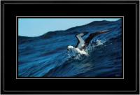 Yellow nose Albatross 006  I  x 900 Wide.jpg