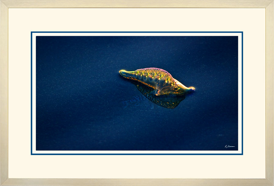 Portuguese Man of War 004  A  x 900 Wide.jpg