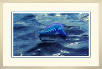 Portuguese Man of War 005  A  x 900Wide.jpg