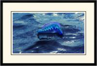 Portuguese Man of War 005  B  x 900Wide.jpg