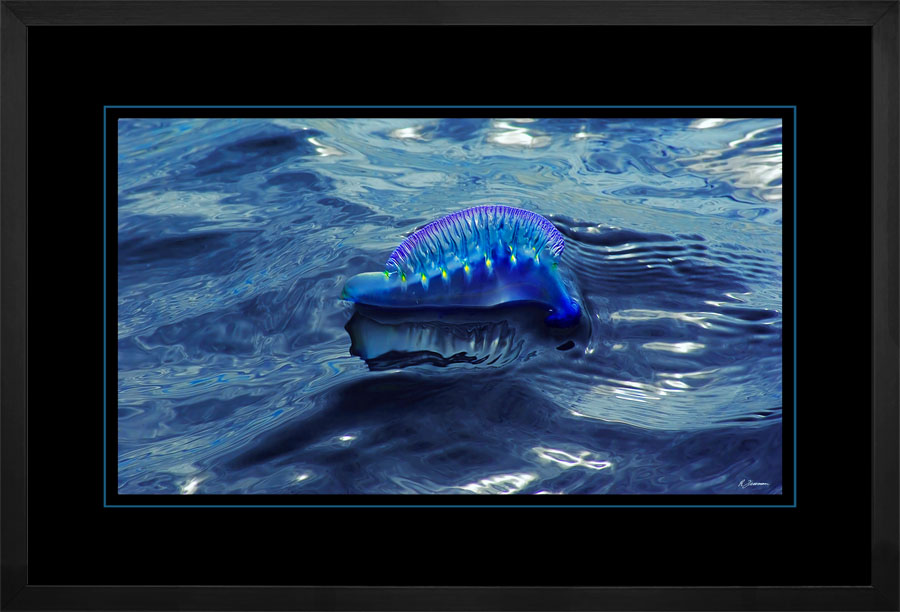 Portuguese Man of War 005  G  x 900Wide.jpg