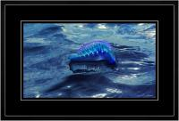 Portuguese Man of War 005  I  x 900Wide.jpg