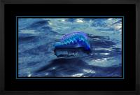 Portuguese Man of War 005  H  x 900Wide.jpg