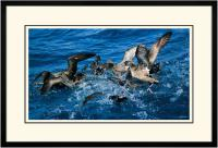 Short tailed  Shearwater 001  B  x 900 Wide.jpg