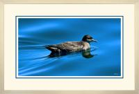 Short tailed  Shearwater 002  A  x 900 Wide.jpg