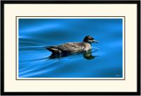 Short tailed  Shearwater 002  B  x 900 Wide.jpg