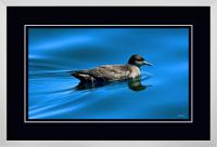 Short tailed  Shearwater 002  C  x 900 Wide.jpg
