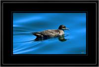 Short tailed  Shearwater 002  D  x 900 Wide.jpg
