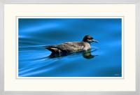 Short tailed  Shearwater 002  E  x 900 Wide.jpg