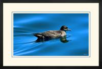 Short tailed  Shearwater 002  F  x 900 Wide.jpg