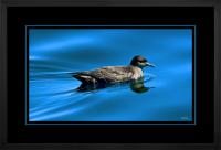 Short tailed  Shearwater 002  H  x 900 Wide.jpg