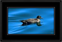 Short tailed  Shearwater 002  I  x 900 Wide.jpg