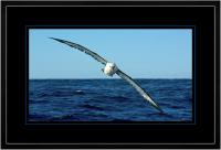 Yellow nose Albatross 003  D  x 900 Wide.jpg