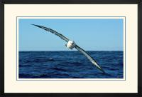 Yellow nose Albatross 003  F  x 900 Wide.jpg