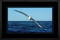 Yellow nose Albatross 003  H  x 900 Wide.jpg