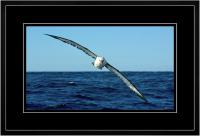 Yellow nose Albatross 003  I  x 900 Wide.jpg