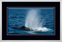 Humpback Blow 004 C  x 900 Wide.jpg