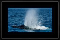 Humpback Blow 004 D  x 900 Wide.jpg