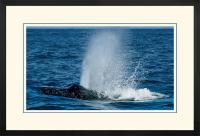 Humpback Blow 004 F  x 900 Wide.jpg
