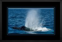 Humpback Blow 004 H  x 900 Wide.jpg